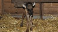 Der kleine Rentierbulle im Biotopwildpark Anholter Schweiz durfte nicht einmal ein halbes Jahr leben. Der Grund dafür ist, dass verantwortungslose Besucher das im Mai geborene […]