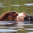 Morgen, 30. August, finden in Voorst/Gendringen die jährlichen Jagdhundeprüfungen der Vereine der Königlich Niederländischen Jägervereinigung (KNJV) statt. Daran nehmen auch Hundehalter mit ihren Tieren teil, […]