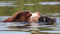Morgen, 30. August, finden in Voorst/Gendringen die jährlichen Jagdhundeprüfungen der Vereine der Königlich Niederländischen Jägervereinigung (KNJV) statt. Daran nehmen auch […]