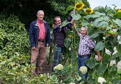 Sieger im Sonnenblumenwettbewerb werden jetzt ermittelt