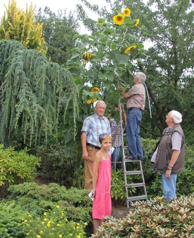 sonnenblumenwettbewerb_bericht