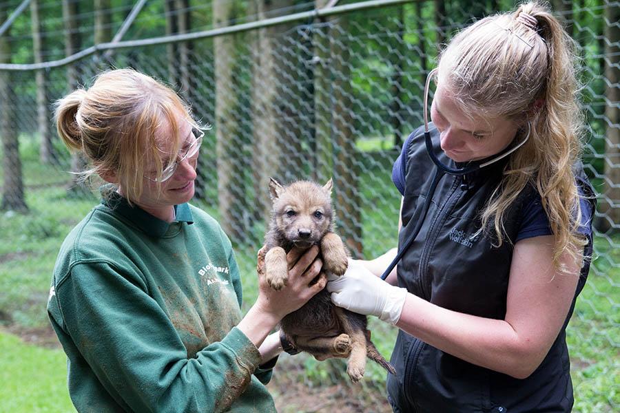 Tierärztin Anne Brömmling (rechts) untersuchte die jungen Wölfe mit Unterstützung von Tierpflegerin Sandra Kühn.