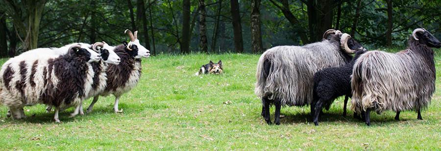 Jette passt auf, dass kein Schaf ausbüxt