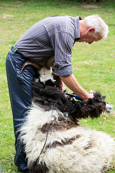 Benny Grootenhuis beim Scheren eines Schafes