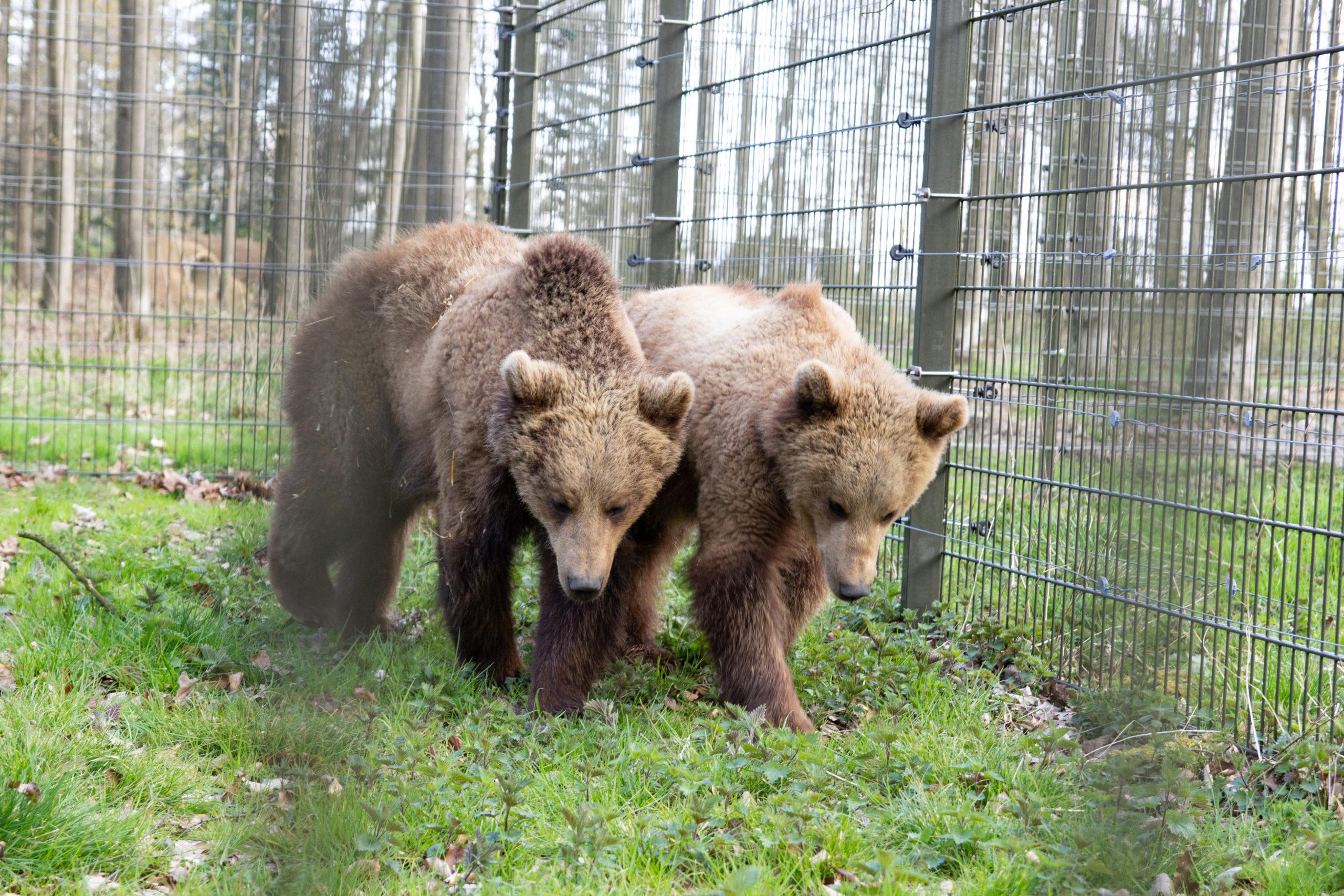 Die Bären sind da