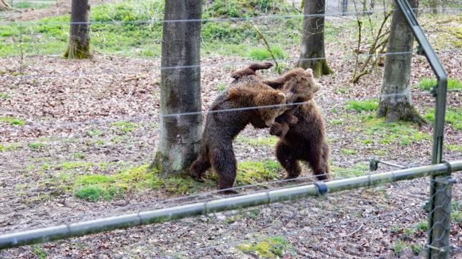 Bärenmädchen erkunden ihr großes Gehege früher als gedacht
